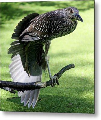 Juvenile Black Crowned Night Heron Metal Print by Paulette Thomas