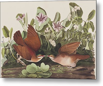 Key West Dove Metal Print by John James Audubon