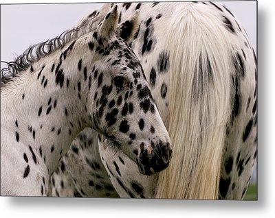 Knabstrupper Foal Metal Print