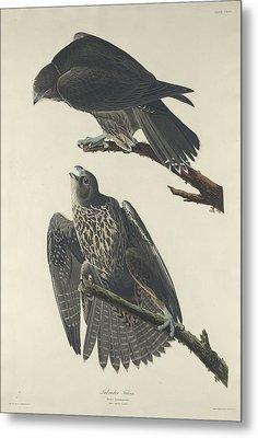 Labrador Falcon Metal Print by Rob Dreyer
