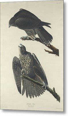 Labrador Falcon Metal Print by Anton Oreshkin