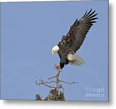 Landing Eagle Metal Print by Tim Grams