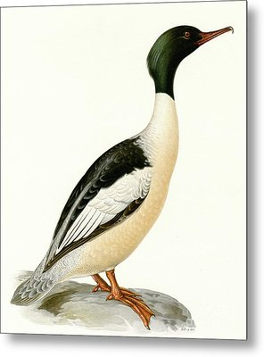 Large Merganser Metal Print