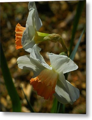 Late Day Daffodils Metal Print by Lori Seaman