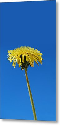Little Piece Of Sunshine Metal Print by Marilynne Bull