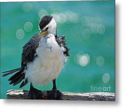Little Pied Cormorant I Metal Print