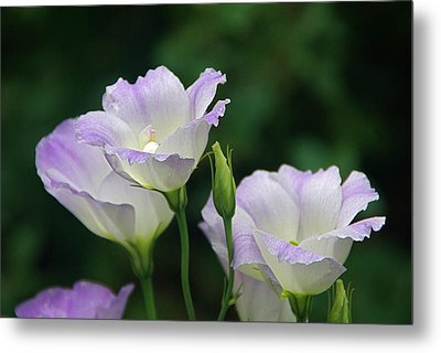Metal Print featuring the photograph Lovely Lisianthus by Byron Varvarigos
