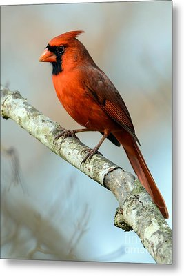 Male Cardinal Metal Print by Debbie Green
