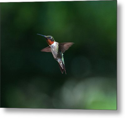 Male Ruby Throated Hummingbird Metal Print by Brenda Jacobs