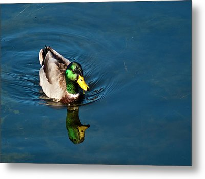 Metal Print featuring the photograph Mallard by Bill Barber