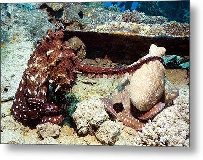 Mating Pair Of Day Octopuses Metal Print by Georgette Douwma