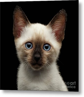 Mekong Bobtail Kitty With Blue Eyes On Isolated Black Background Metal Print
