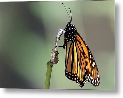 Monarch Butterfly Stony Brook New York Metal Print