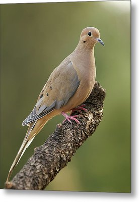 Mourning Dove Metal Print by Doug Herr