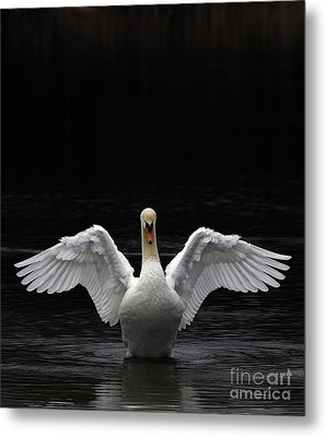 Mute Swan Stretching It's Wings Metal Print by Urban Shooters