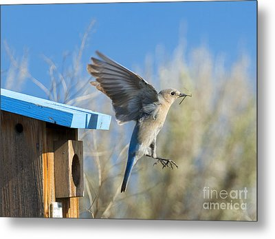 Nest Builder Metal Print