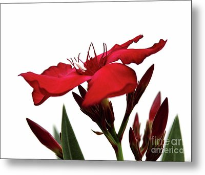 Oleander Blood-red Velvet 3 Metal Print by Wilhelm Hufnagl