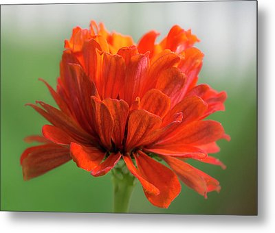 Metal Print featuring the photograph Red Zinnia  by Jim Hughes
