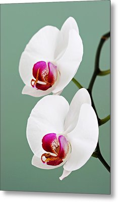 Orchid-2-st Lucia Metal Print by Chester Williams