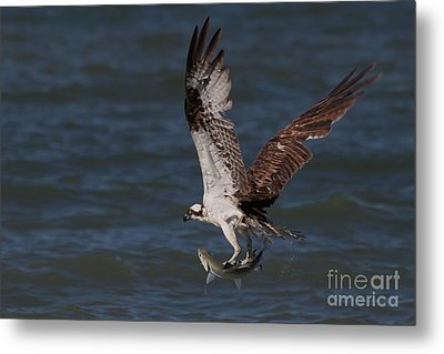 Osprey In Flight Metal Print