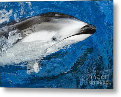Pacific White-sided Dolphin Metal Print by Dave Fleetham - Printscapes