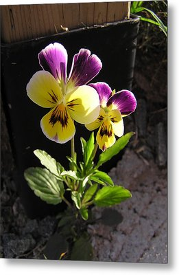 Pansy Out Of Cement Metal Print by Richard Mitchell