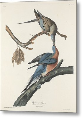 Passenger Pigeon Metal Print by Dreyer Wildlife Print Collections