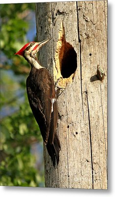 Pileated #26 Metal Print by James F Towne