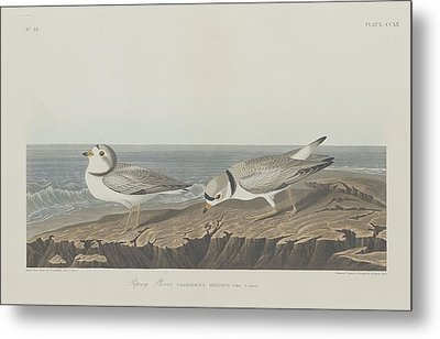Piping Plover Metal Print by Rob Dreyer