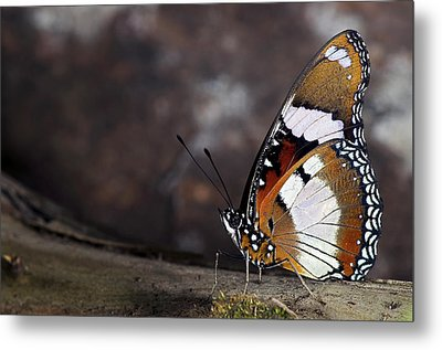 Plain Tiger Butterfly Metal Print by JT Lewis