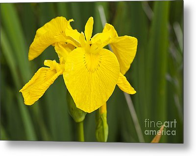 Plant Wild Flower Yellow Flag  Iris Pseudacorus Metal Print by Hugh McKean