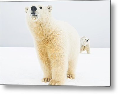 Polar Bear  Ursus Maritimus , Curious Metal Print by Steven Kazlowski
