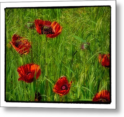 Poppies Metal Print by Hugh Smith