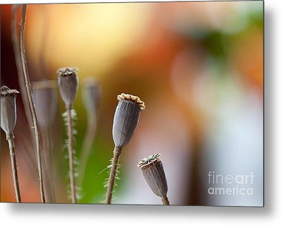 Poppy Pods Metal Print by Nailia Schwarz