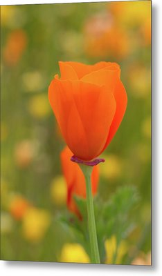 Metal Print featuring the photograph Poppy by Roger Mullenhour