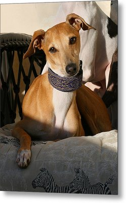 Portrait Of An Italian Greyhound Metal Print by Angela Rath