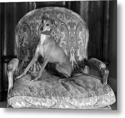 Portrait Of An Italian Greyhound In Black And White Metal Print by Angela Rath