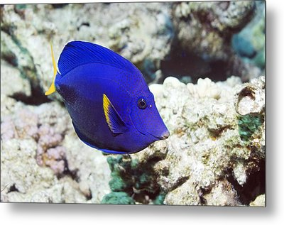 Powder-blue Tang Metal Print by Georgette Douwma