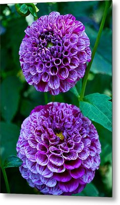 Purple Passion Dahlia  Metal Print