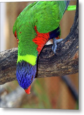Rainbow Lorikeet Metal Print by Inspirational Photo Creations Audrey Woods