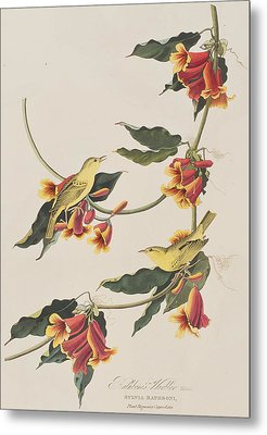 Rathbone Warbler Metal Print by John James Audubon