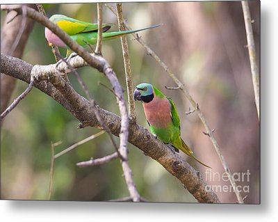 Red-breasted Parakeets, India Metal Print by B. G. Thomson