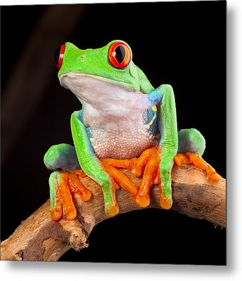 Red Eyed Tree Frog Metal Print