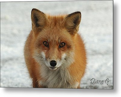 Red Fox Metal Print by Diane Giurco
