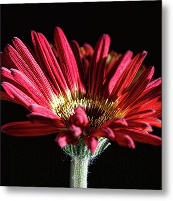 Red Gerbera 1 Metal Print by Steve Purnell