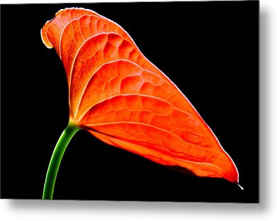 red Lily blossom Metal Print