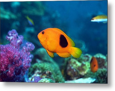 Red Saddleback Anemonefish And Soft Coral Metal Print by Georgette Douwma
