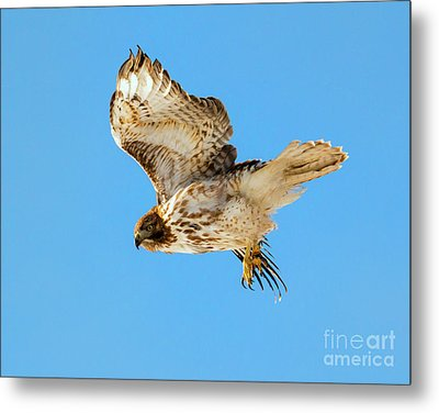 Red-tail Flight Metal Print by Mike Dawson