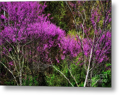 Redbud In The Woods Metal Print by Thomas R Fletcher