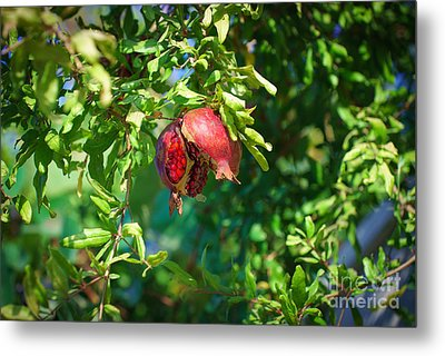 Ripe Pomegranate On The Tree In Jerusalem During Sukkoth Metal Print
